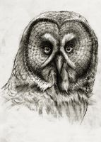 The Great Grey Owl by oosterbe