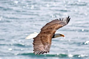 Eagle in Flight by bulldogWA