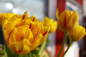 Tulips 6 by Britwitch-1981