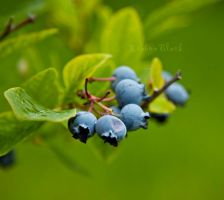 berry blue by RibbonBlack
