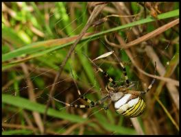 Wasp spider by Pildik