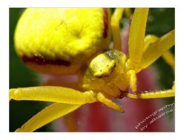 Yellow Crabspider by albatros1