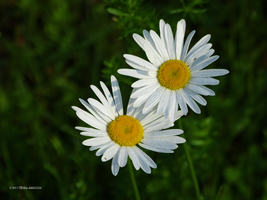 Daisies two by Mogrianne