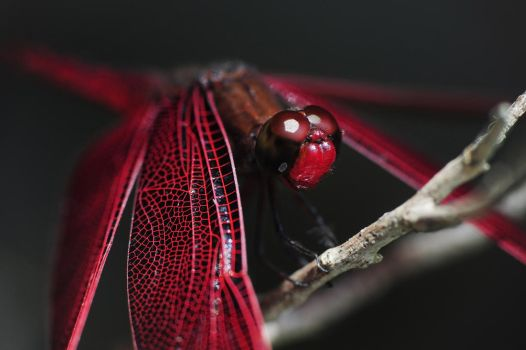 Red-Veined Darter by HoneyMaglalang