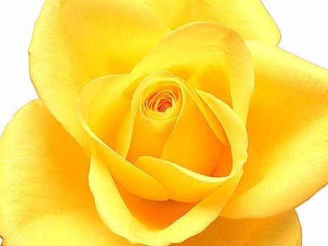 Yellow roseYellow rose by photogold