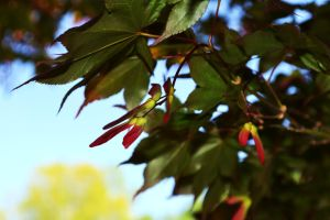 This Past Spring- Red Maple by MrsChibi