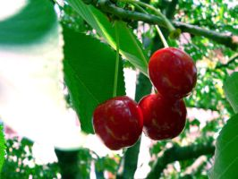 cherries by clandestine-stock