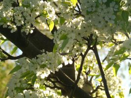 Fresh Blossoms. by POETRYTHROUGHLENS
