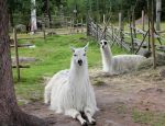 i give to you two llamas by KariLiimatainen