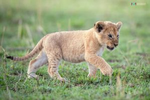 Lion Cub by vinayan