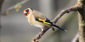 Goldfinch by S4MMY4RT