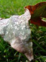 Leaf 1 by Meow-Stock