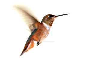female rufous hummingbird by houstonryan