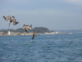 3 Pelicans Dive by narutokunobessed