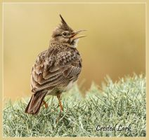 Dawn Chorus - Crested Lark by Jamie-MacArthur