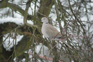Eurasian Collared Dove by elLoboNegro