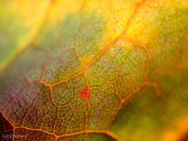 Autumn Leaf 2 by cbehara
