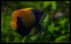 Saddle Angelfish by art4oceans