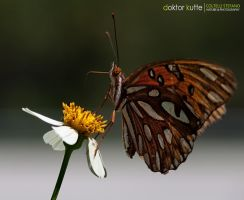 Everglades Butterfly by Stefano-Coltelli