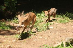 Red Wolf Stock 69: Mother, Pup and Lunch by HOTNStock