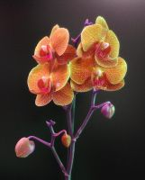my orchid 4 by irenaart