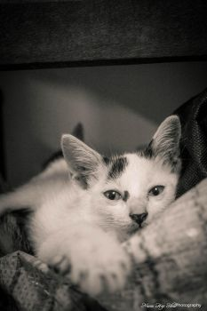Black and White kitten by Nisnis79