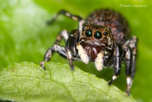 Cute jumping spider by dllavaneras