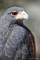 Harris's Hawk by CeeThruMyEyes