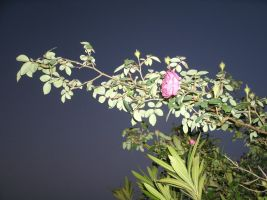 wild Rose by jamaicavb