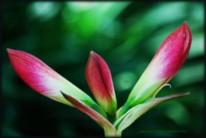 Amaryllis for Michelle... by LadyAliceofOz