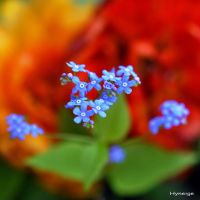 Myosotis sur Orange I_signe by hyneige