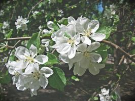 Apple Blossom 2013 vol.9 by ladylerika