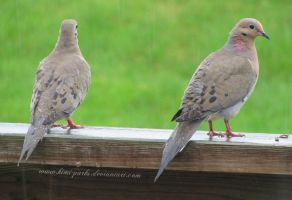 mourning doves in the rain by Kimi-Parks
