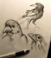95- Crow and Raven Sketches by Lucky978