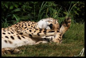Cheetah 05 by Alannah-Hawker