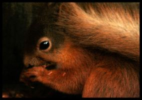 Red squirrel by Batteryhq