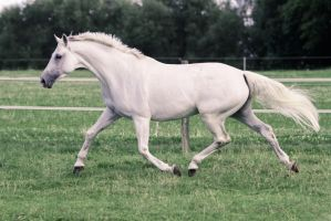 Pegasus Pose - White Warmblood Mare on Pasture by LuDa-Stock
