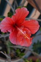 Hibiscus. by Daneas