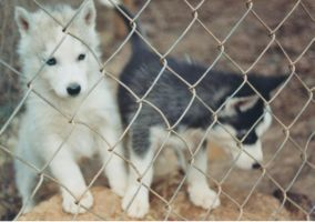 Siberian Huskies by 1984MLR