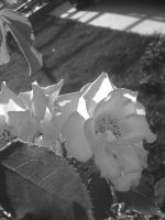 Black and White Pink Flower by flamingpig
