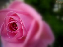 Pink rose by moonik9