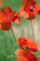 Coquelicots by Lorelei-Cha