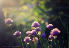 Sunset Chives by SharingMyDreams