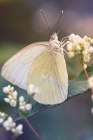 Butterfly of White by RoyalImageryJax