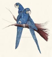 Hyacinth Macaws - Endangered by Obscuri