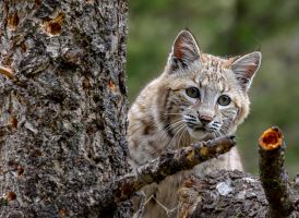 Pekaboo Bobcat by White-Voodoo