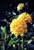 Flowers 76 by Humble-Novice