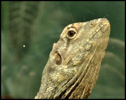 Frilled Lizard by Somebody-Somewhere