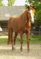 chestnut horse standing in front by Nexu4