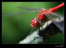 red dragonfly by pinkblue